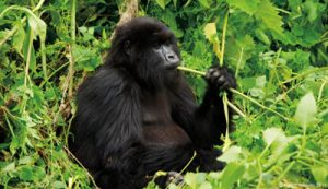 Mountain Gorillas in Africa